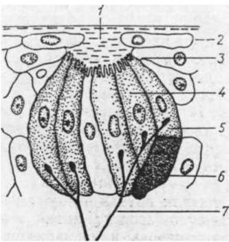 Структура вкусового рецептора (вкусовой луковицы)