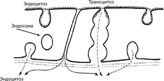 Реализация в монослое эндотелия биологической реакции трансцитоза, единение эндоцитоза и экзоцитоза — жидкостного макропиноцитоза