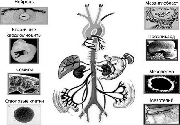 Формирование на поздних ступенях филогенеза артерий эластического типа из разных предшественников и ранее сформированных анатомических обособленных органов, еще ранее — паракринных сообществ клеток