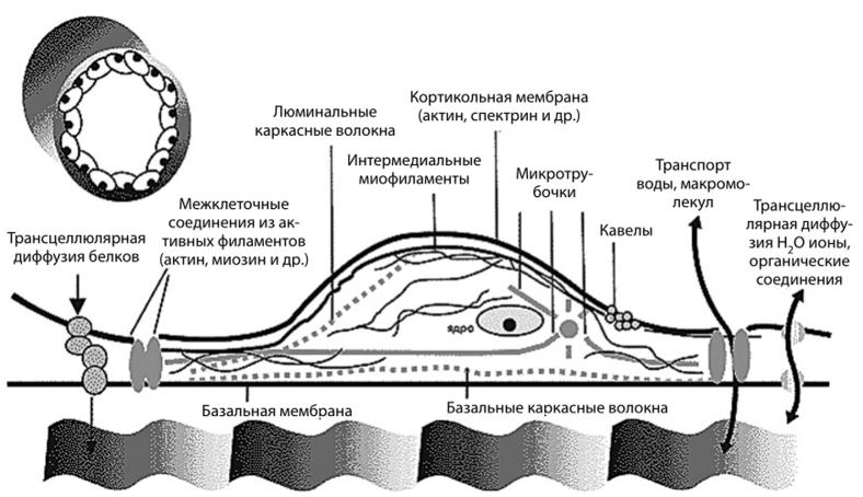Поперечный срез сосуда и структура клетки монослоя эндотелия