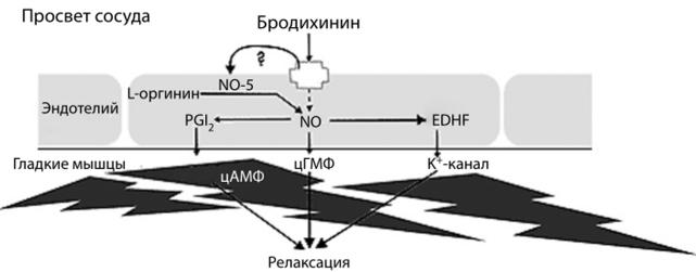 Посредники в действии гуморального медиатора (брадикинина) на релаксацию артериол мышечного типа в дистальном отделе артериального русла