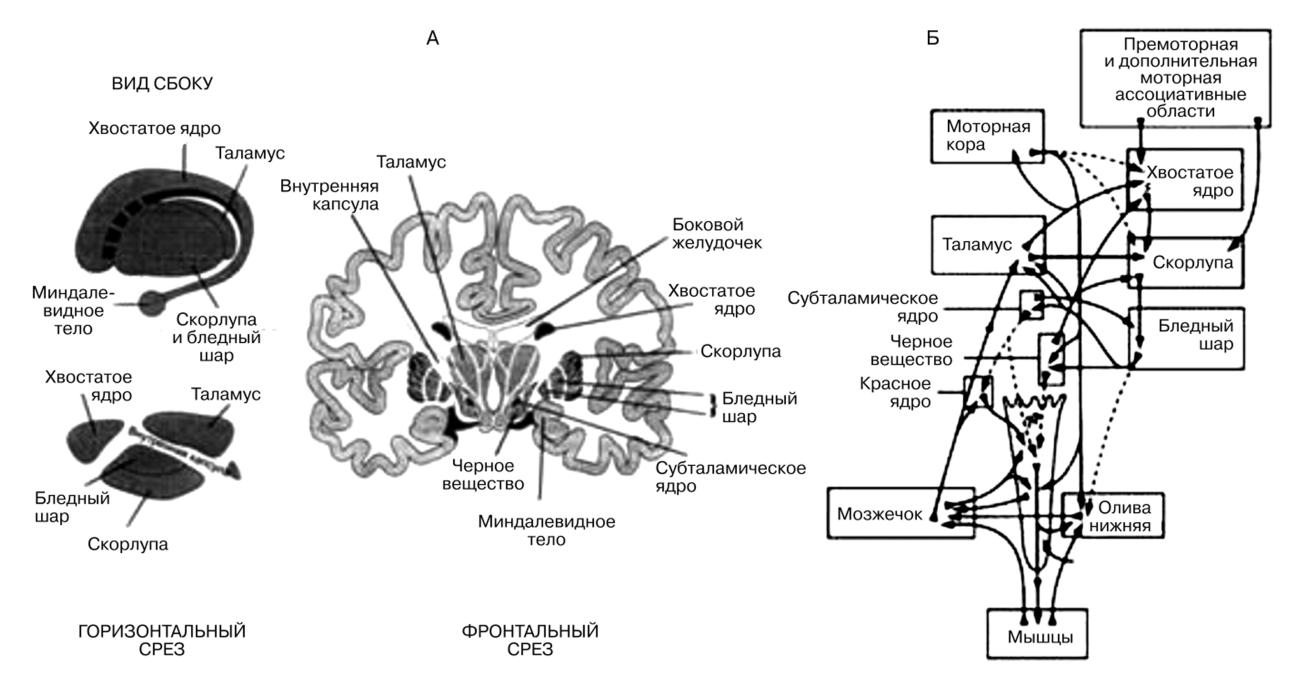Гипоталамус и эпиталамус таламус или зрительный бугор промежуточный мозг анатомия.