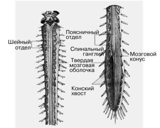 Строение и функции спинного мозга реферат 4444