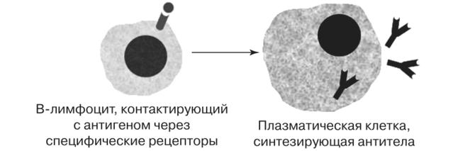 Активация В-лимфоцитов